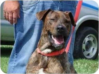 Great Dane/Labrador Retriever Mix Dog for adoption in DuQuoin, Illinois - Dino