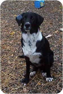 ZEKE | Adopted Dog | 2 | Emmett, ID | Border Collie/Irish ...