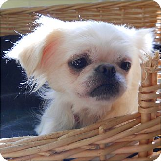 Pekingese/Chihuahua Mix Dog for adoption in Mays Landing, New Jersey - Iris-DE