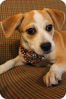 Beagle/Chihuahua Mix Puppy for adoption in Wytheville, Virginia - Paris