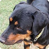 Adopt A Pet :: Sprite - Gilbert, AZ