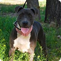 Pit Bull Terrier/Bull Terrier Mix Dog for adoption in Sherman Oaks, California - Zoey