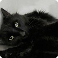 Adopt A Pet :: Sylvester - New York, NY