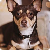 Adopt A Pet :: Chica - Portland, OR