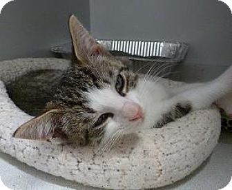 Domestic Shorthair Kitten for adoption in Massapequa, New York - Julius