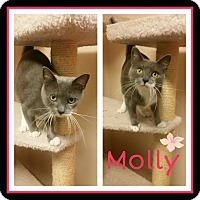 Domestic Shorthair Cat for adoption in Steger, Illinois - Molly