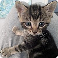 Adopt A Pet :: Vandyke - Mississauga, Ontario, ON