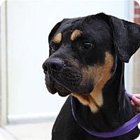 Adopt A Pet :: Atticus - Fairfax Station, VA