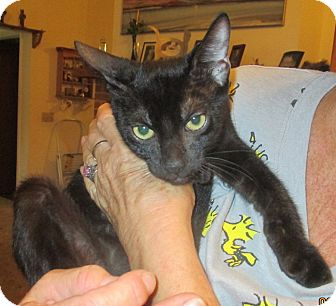 Domestic Shorthair Kitten for adoption in New Smyrna Beach, Florida - Jessie Owens