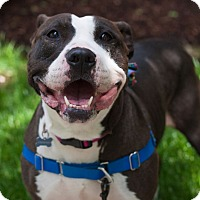 Pit Bull Terrier/Bull Terrier Mix Dog for adoption in Frankfort, Illinois - Hula