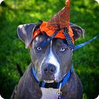 Pit Bull Terrier/Great Dane Mix Dog for adoption in Redondo Beach, California - Milo-ADOPT Me!