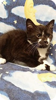 Domestic Mediumhair Kitten for adoption in Cannelton, Indiana - Gizmo