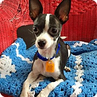 Chihuahua/Rat Terrier Mix Dog for adoption in Buffalo, New York - Boomer