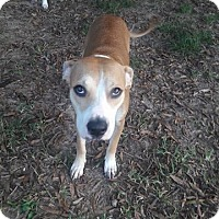Beagle/Labrador Retriever Mix Dog for adoption in Houston, Texas - Sandy
