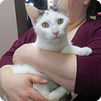 Domestic Shorthair Cat for adoption in Reston, Virginia - Mo