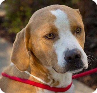 Hound (Unknown Type)/Terrier (Unknown Type, Medium) Mix Dog for adoption in Waterbury, Connecticut - Chaplin