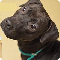 Adopt A Pet :: PRECIOUS - Williamsburg, VA