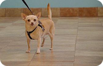 Chihuahua Mix Dog for adoption in Rockford, Illinois - Panch