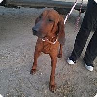 Adopt A Pet :: Ladybird - Wichita Falls, TX