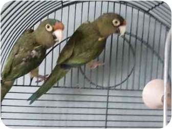 Conure for adoption in Fountain Valley, California - Squiggles