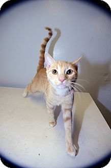 Domestic Shorthair Cat for adoption in New York, New York - Jose Limon