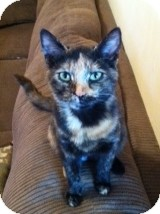 Domestic Shorthair Cat for adoption in Horsham, Pennsylvania - Emily