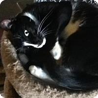 Adopt A Pet :: Simon *Reduced adoption fee FIV positive kitty* - Kyle, SD