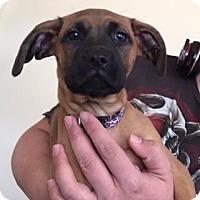 Adopt A Pet :: Alegra - Greeley, CO