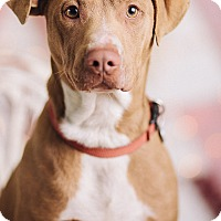 Adopt A Pet :: Doogie - Portland, OR