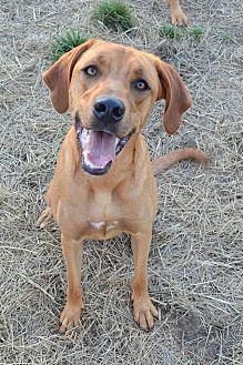 Harrier/Rottweiler Mix Dog for adoption in Saint Clair, Missouri - Sunshine