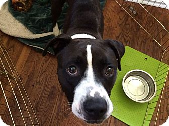 American Pit Bull Terrier Mix Dog for adoption in Sanford, North Carolina - Bella