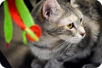 Domestic Shorthair Cat for adoption in Boise, Idaho - Misty