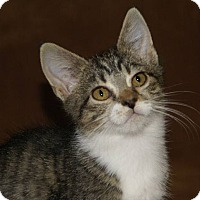 Domestic Shorthair Cat for adoption in Hawk Point, Missouri - Alexis