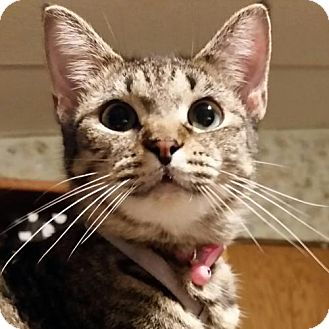 Domestic Shorthair Cat for adoption in Middleburg, Florida - ♥ Rickon ♥