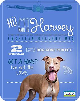 American Bulldog Mix Puppy for adoption in Jacksonville, Florida - Harvey