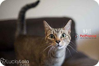Domestic Shorthair Cat for adoption in Columbus, Ohio - Maui