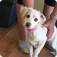 Adopt A Pet :: 'SOPHIE' - Agoura Hills, CA