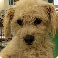 Poodle (Miniature) Mix Dog for adoption in Las Vegas, Nevada - Gus