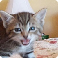 Domestic Shorthair Kitten for adoption in Wauconda, Illinois - Jesse