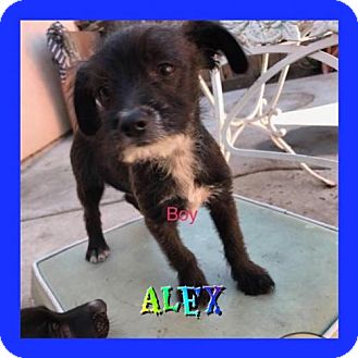 Poodle (Miniature)/Chihuahua Mix Puppy for adoption in Los Angeles, California - Alex