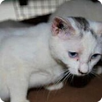 Adopt A Pet :: Purry White Furries - Westerly, RI