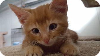 Domestic Shorthair Kitten for adoption in Irwin, Pennsylvania - Garfield