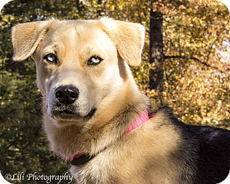 Husky/German Shepherd Dog Mix Dog for adoption in Warner Robins, Georgia - Athena