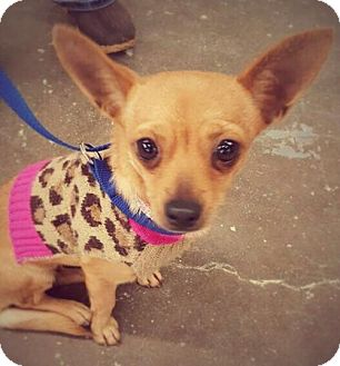 Chihuahua Mix Dog for adoption in Princeton, Minnesota - Olivia