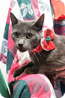 Domestic Shorthair Cat for adoption in Palmyra, New Jersey - Katie