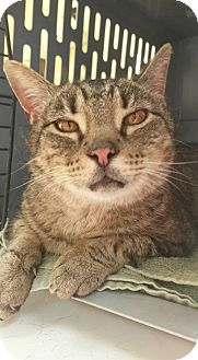 Domestic Shorthair Cat for adoption in Jackson, Missouri - Big Mac