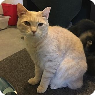 American Bobtail Cat for adoption in Naugatuck, Connecticut - Prince