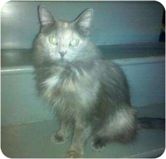 Domestic Longhair Cat for adoption in Jenkintown, Pennsylvania - Sara