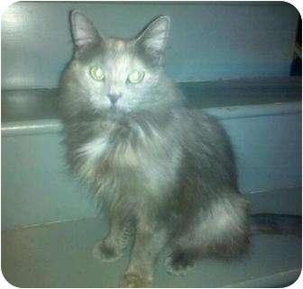 Domestic Longhair Cat for adoption in Jenkintown, Pennsylvania - Sara