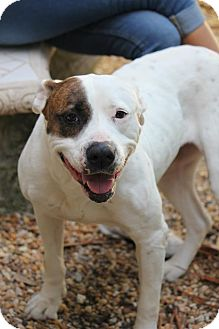 American Bulldog Mix Dog for adoption in Ft. Lauderdale, Florida - Trixie Madison